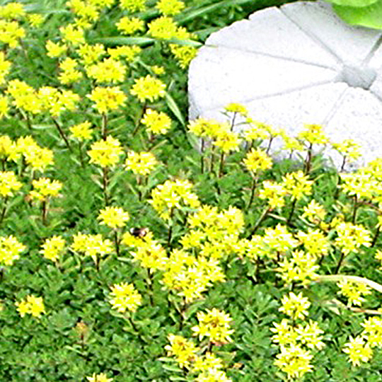 Sedum kamtschaticum se 3008 simply succulents sedum kamtschaticum mightylinksfo