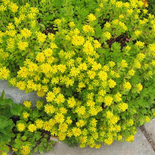 Sedum ellacombianum se 3011 simply succulents sedum ellacombainum mightylinksfo