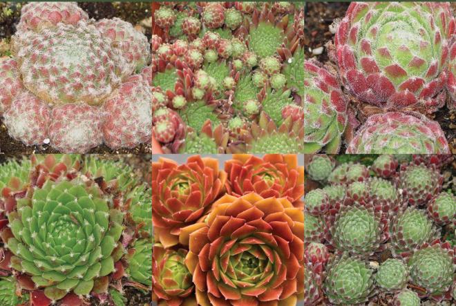6 Sempervivum Collection
