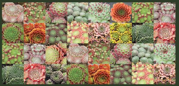 32 Sempervivum Collection