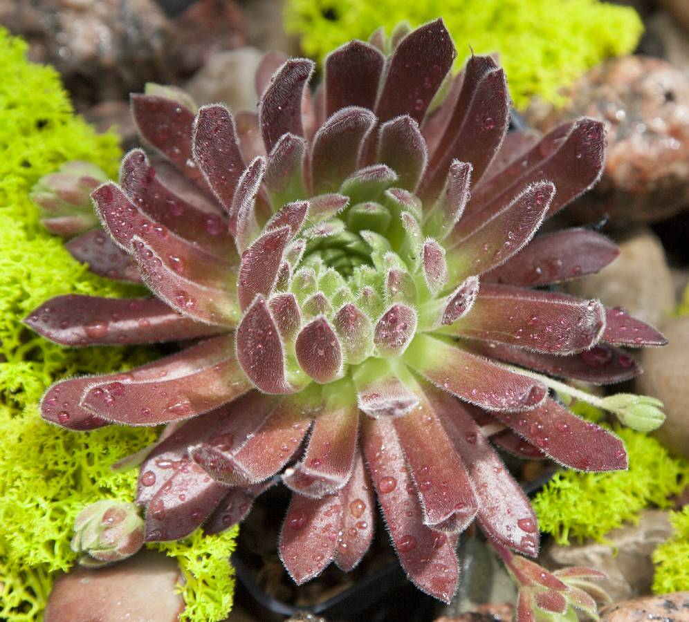 Sempervivum Spice