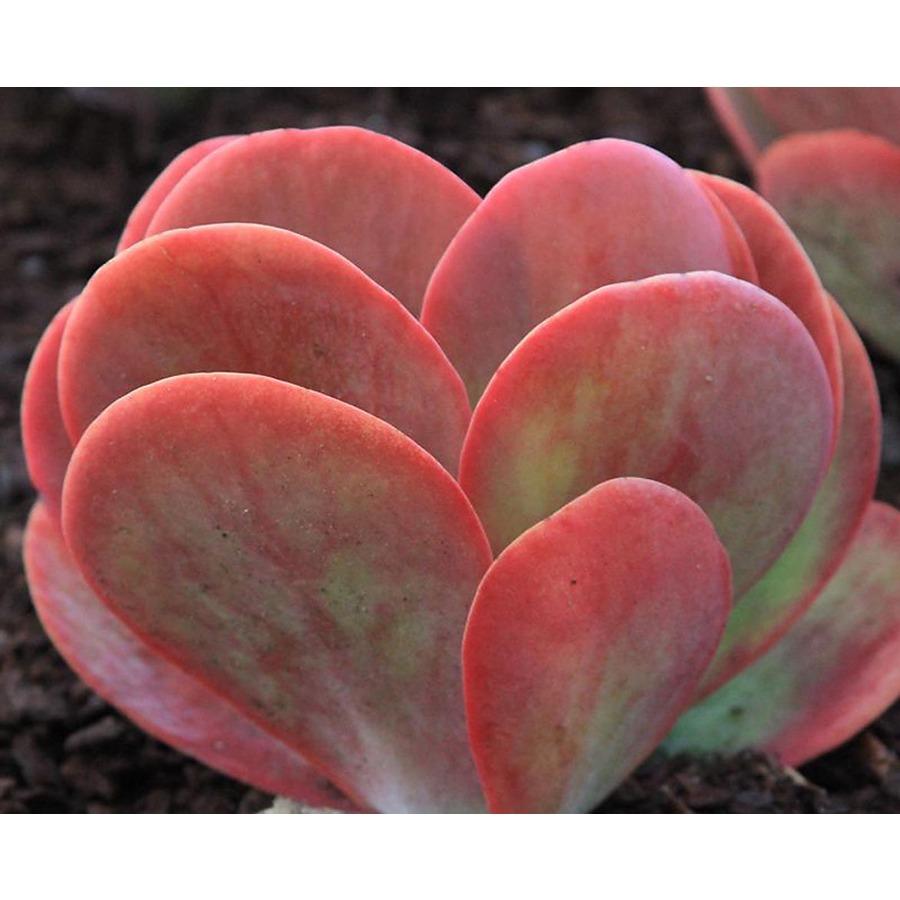 Kalanchoe Thyrsiflora Desert Rose