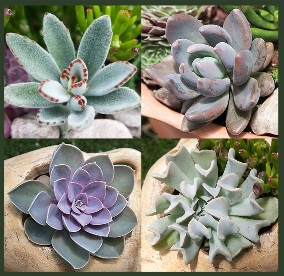 Exotic Succulent Collection