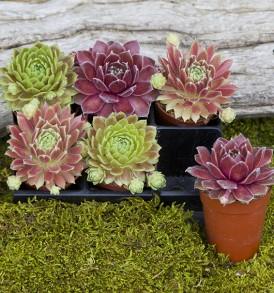 6 -Mixed Sempervivum Round Pots